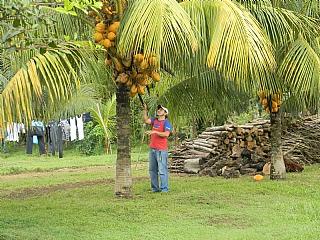 320_1_harvestingcoconuts